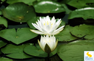 Victoria Amazonica is the largest known species of lily pad on the planet. It is native to the Amazon River Basin in central and eastern South America. Victoria […]