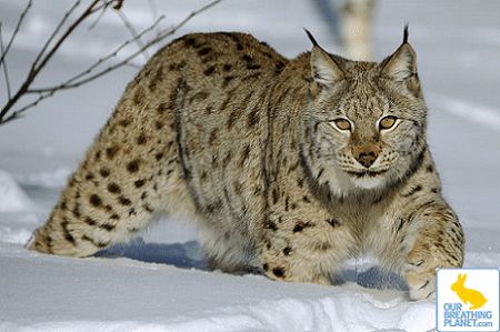 The Lynx is a general term which is commonly used to refer to any of the four various species of wildcat within the Lynx genus. All are medium-sized wildcats. They […]