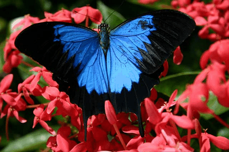 The Ulysses Butterfly is a large species of swallowtail butterfly. This beautiful insect is endemic to Australia. Its great beauty inspired the country to name it the official emblem […]