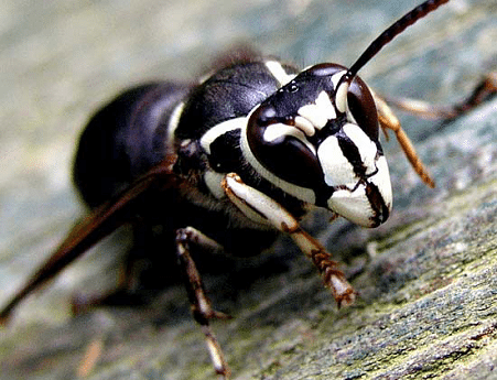 Despite the common name by which it is known, the Bald Faced Hornet is not a true hornet. This eusocial insect is actually a species of yellowjacket. This species […]