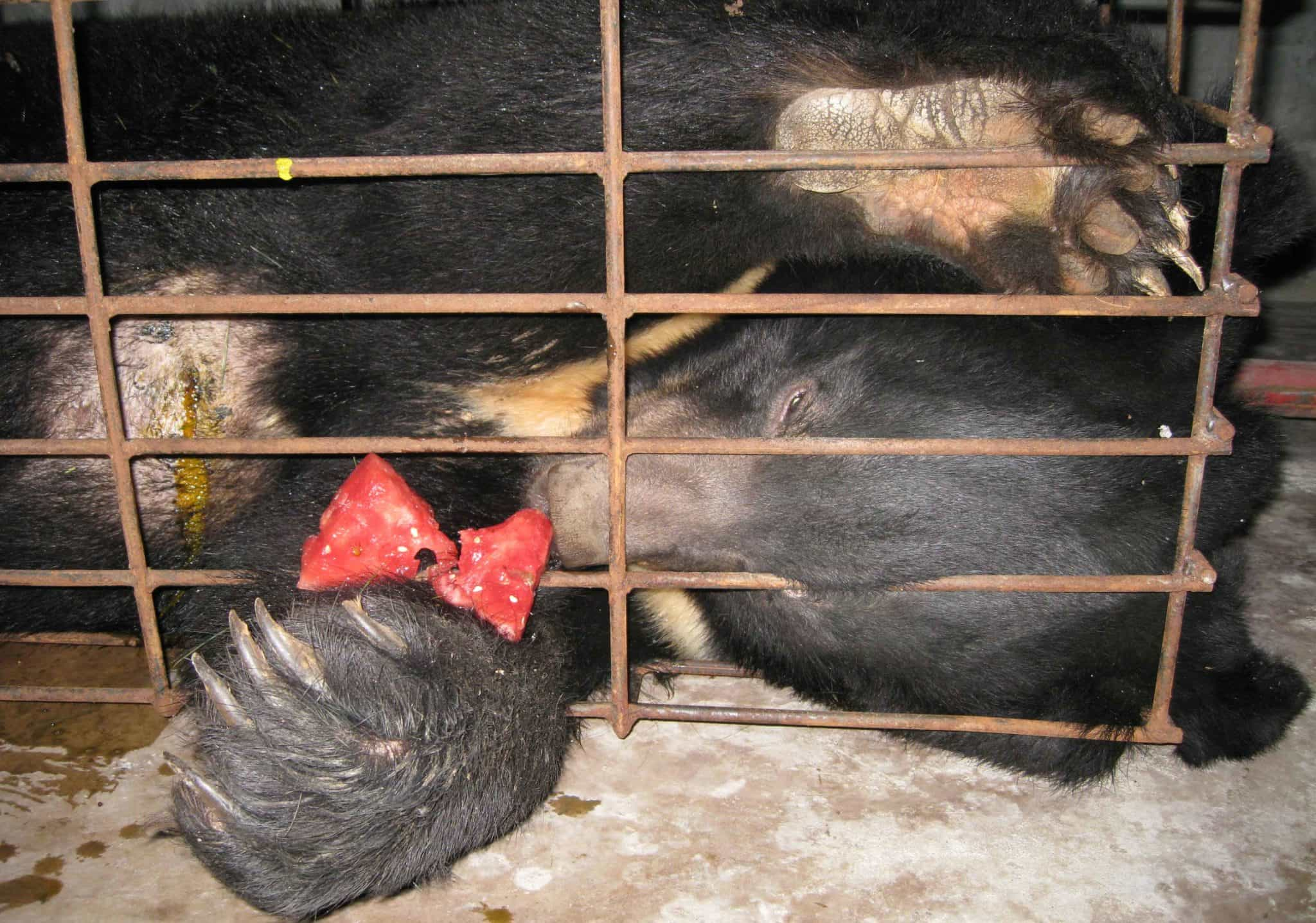Do you know what is bile bear farming? According to Wikipedia, bile bear, or battery bear, refers to Asiatic black bears kept in captivity in China and Vietnam to harvest bile, a digestive juice produced by the liver and stored […]