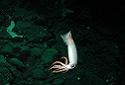 Armhook Squid, Gonatidae