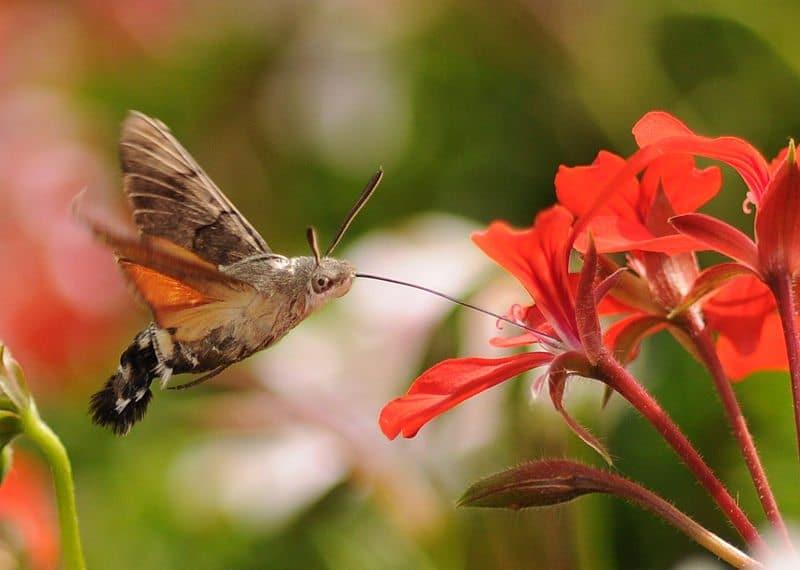 Hummingbrid Hawk Moth