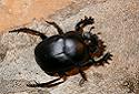 Scarab Beetle, Scarabaeidae