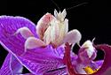 Orchid Mantis, Hymenopus coronatus