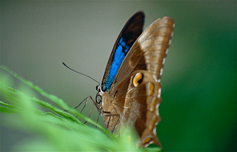 Ulysses Butterfly, Papilio ulysses