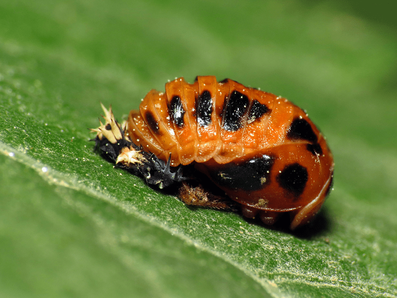 Multicolored Asian Lady Beetle, Harmonia axyridis