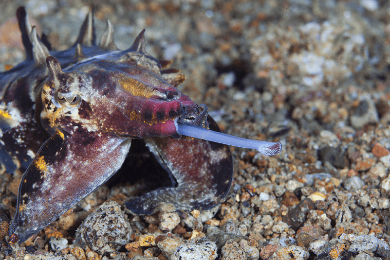 Flamboyant Cuttlefish, Metasepia pfefferi