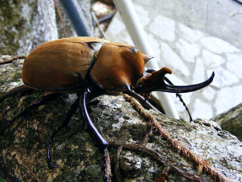 Elephant Beetle, Megasoma elephas