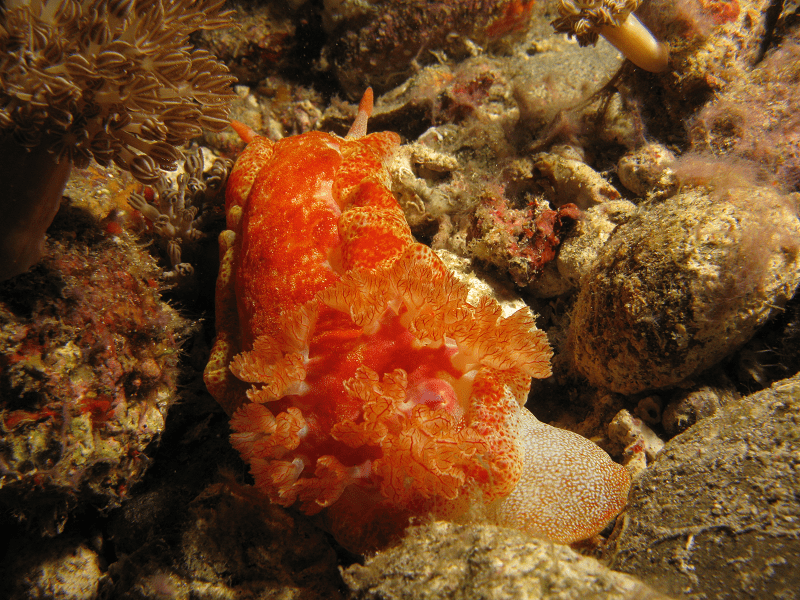 Spanish Dancer, Hexabranchus sanguineus