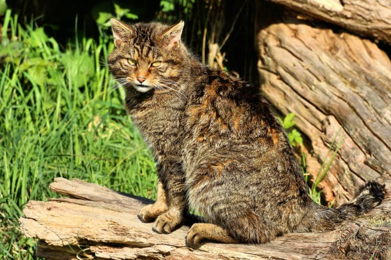 Scottish Wildcat, Felis silvestris grampia