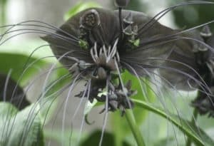 Black Bat Flower, acca chantrieri