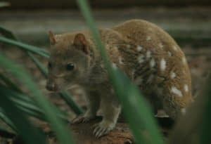 Tiger Quoll, Spotted-Tail Quoll, Dasyurus maculatus