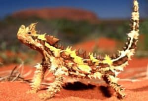 Thorny Dragon, Moloch horridus