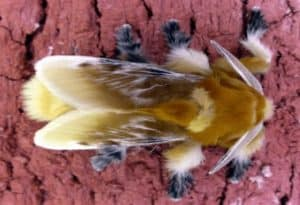 Southern Flannel Moth, Megalopyge opercularis