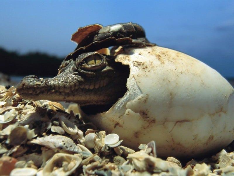 American Crocodile, Crocodylus acutus