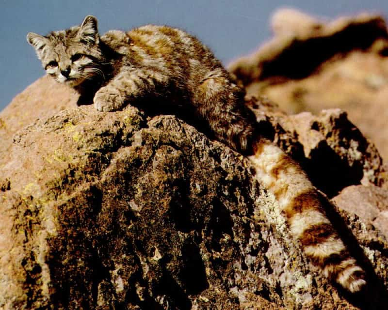 Andean Mountain Cat, Leopardus jacobita