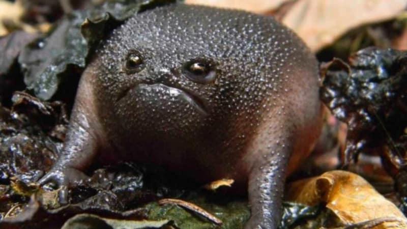 Black Rain Frog, Breviceps fuscus