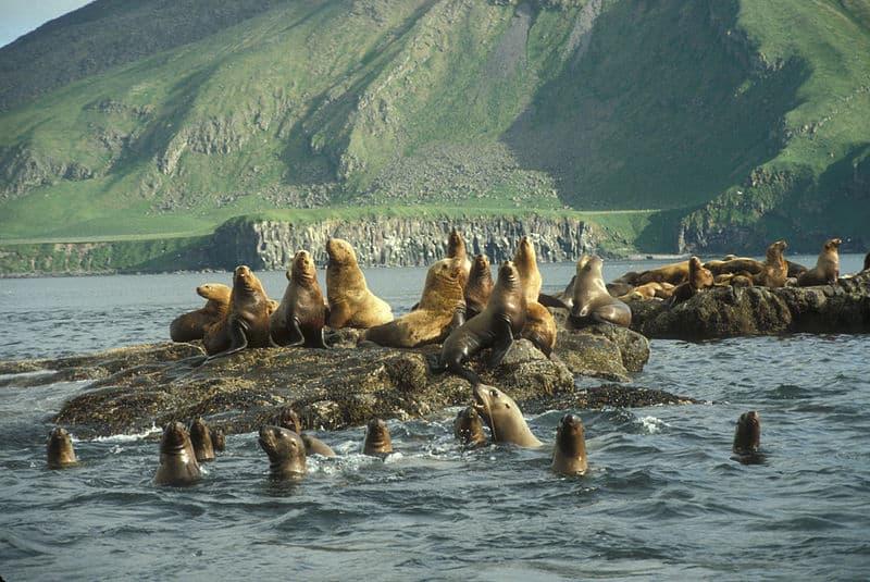 Steller Sea Lion, Eumetopias jubatus