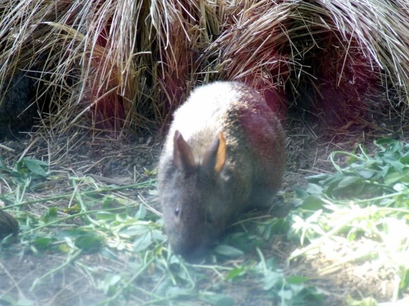 Volcano Rabbit, Romerolagus diazi