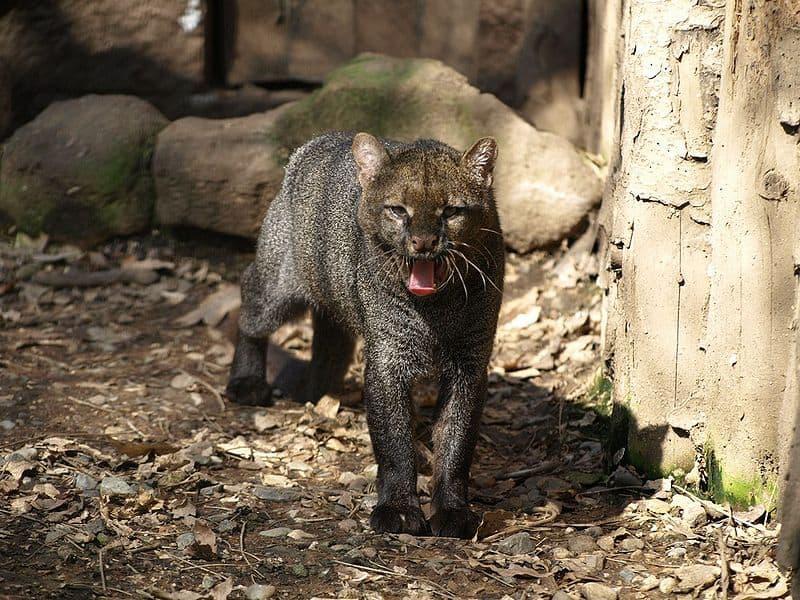 Jaguarundi, Puma yagouaroundi