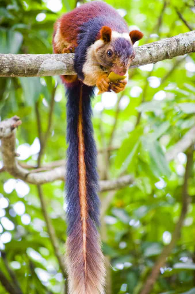 Indian Giant Squirrel, Ratufa indica