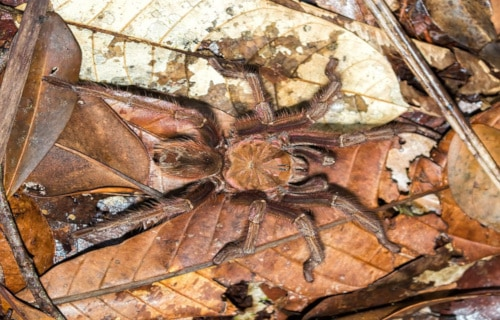 Goliath Birdeater, Theraphosa blondi