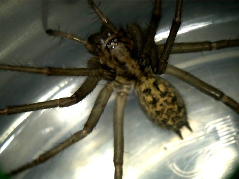 Hobo Spider, Eratigena agrestis
