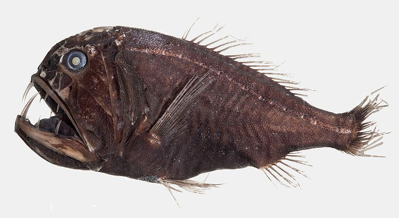Fangtooth, Anoplogastridae