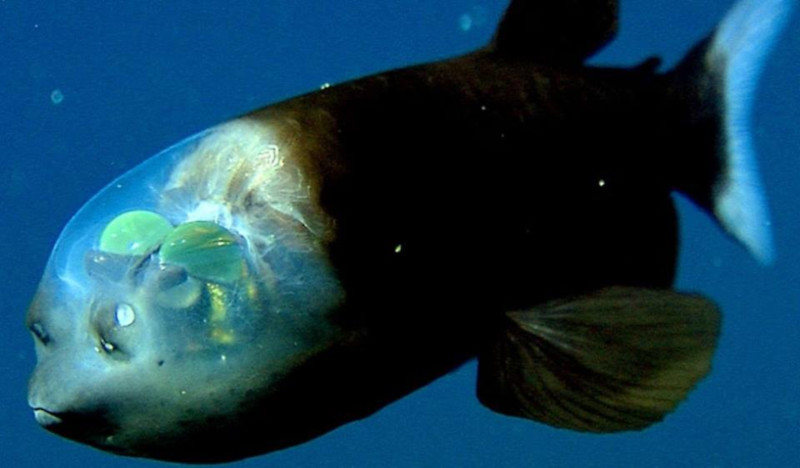 Barreleye Fish l Remarkable Head - Our Breathing Planet