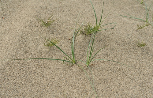 Baikal Sedge, Carex sabulosa