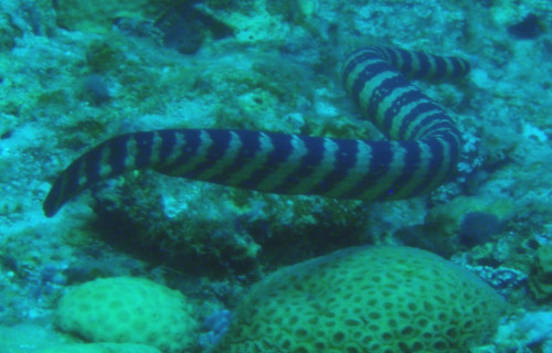 Black Banded Sea Krait, Laticauda semifasciata