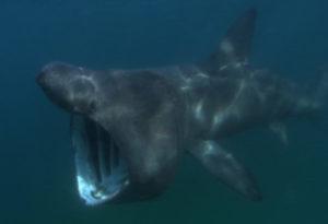 Basking Shark, Cetorhinus maximus