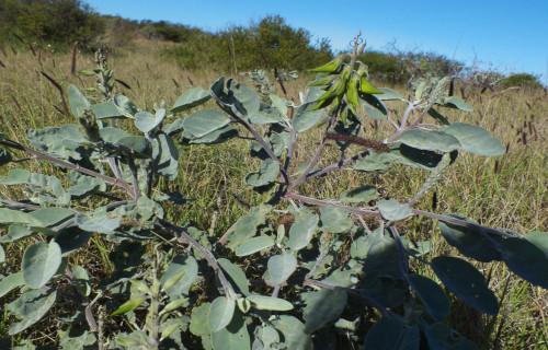 Regal Birdflower, Crotalaria cunninghamii