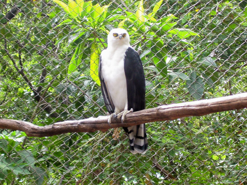 Black-and-white hawk-eagle, Spizaetus melanoleucus