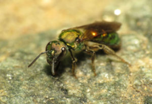 Sweat Bee, Halictidae