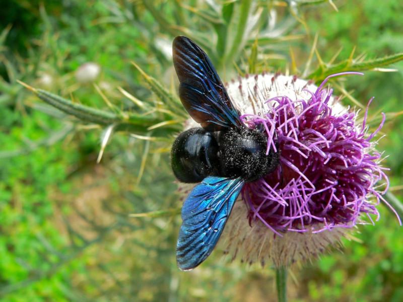 Violet Carpenter Bee, Xylocopa violacea