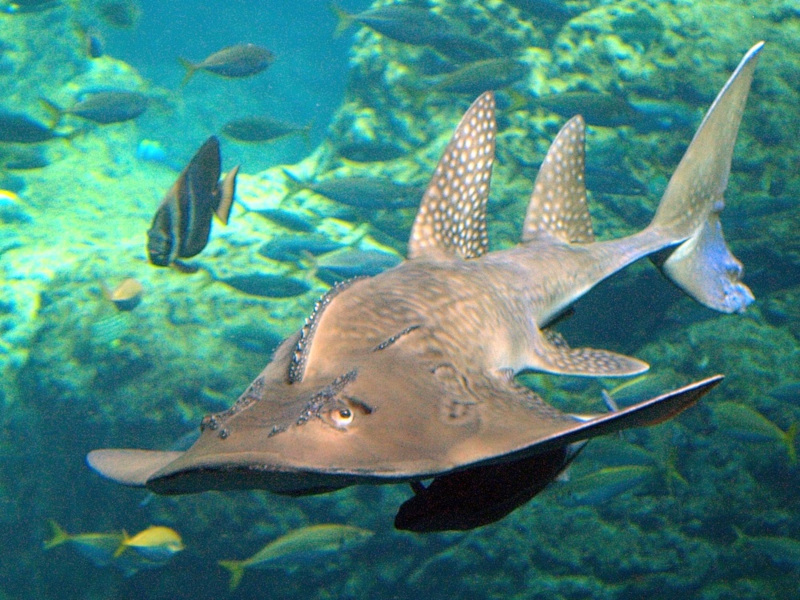 Bowmouth Guitarfish, Rhina ancylostoma