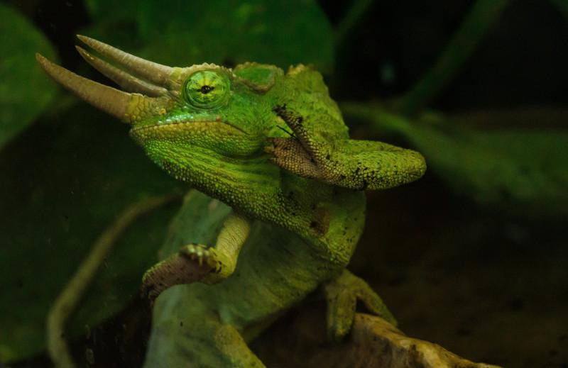 Jackson's Chameleon, Trioceros jacksonii