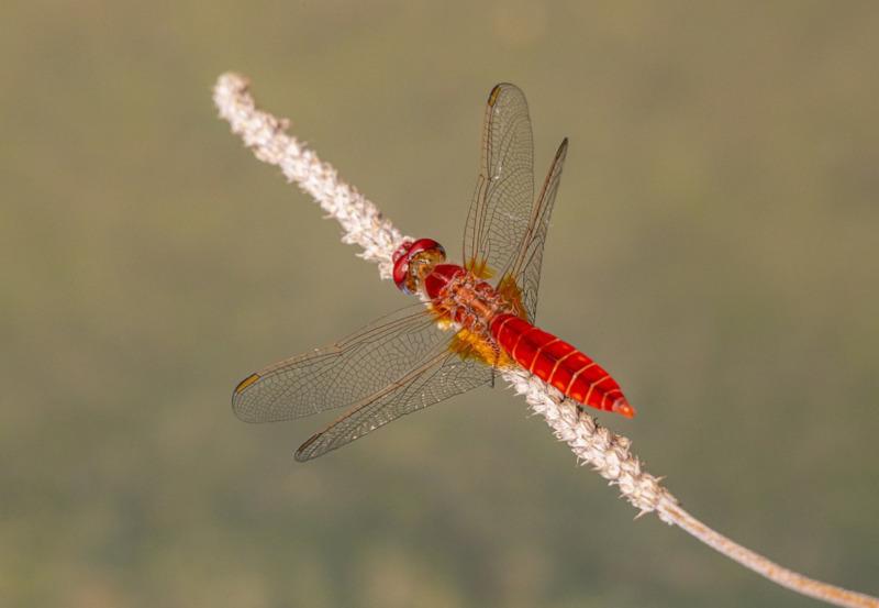 Red Veined Darter, Sympetrum fonscolombii