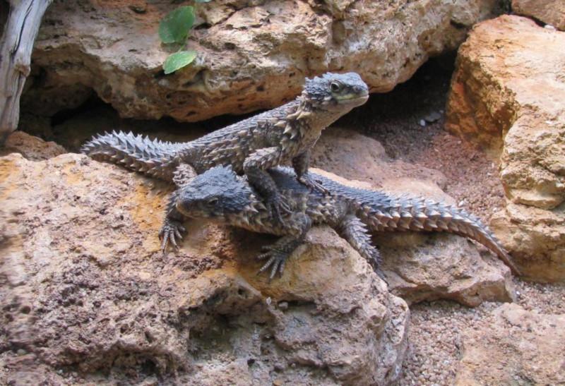 Giant Girdled Lizard, Cordylus giganteus