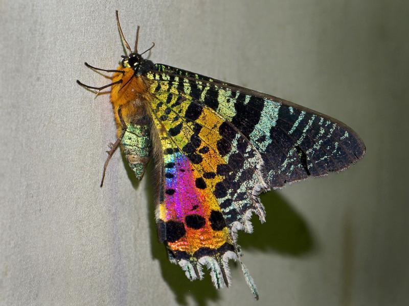 Sunset Moth, Chrysiridia rhipheus