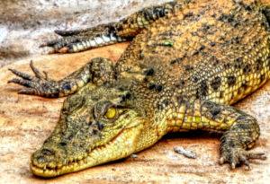 Philippine Crocodile, Crocodylus mindorensis