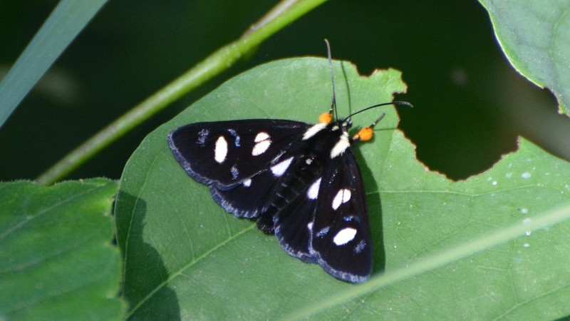 Eight Spotted Forester Moth, Alypia octomaculata