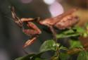 Ghost Mantis, Phyllocrania paradoxa