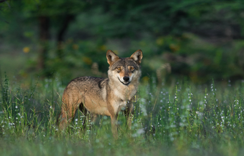 7 Magnificent Wild Canines