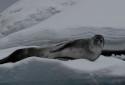 Leopard Seal, Hydrurga leptonyx