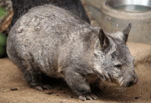 Northern Hairy Nosed Wombat, Lasiorhinus krefftii