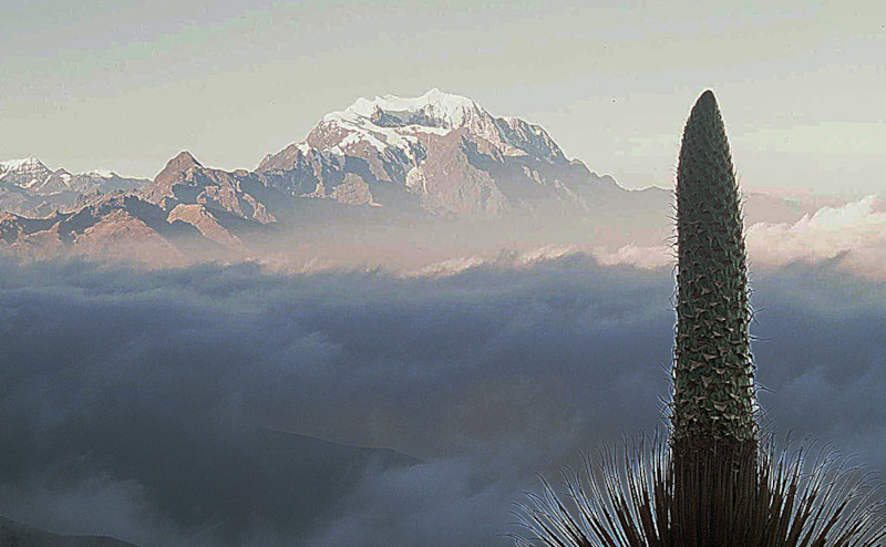 Queen of the Andes, Puya raimondii