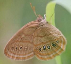 Saint Francis' Satyr Butterfly, Neonympha mitchellii francisci